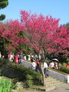 盛開的櫻花樹